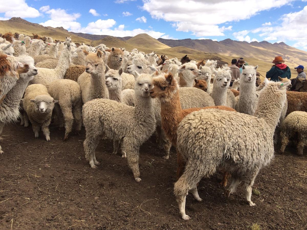 Love Among the Alpacas